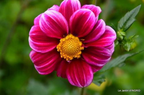 jardin,puces Lasmonzie,asters 063.JPG