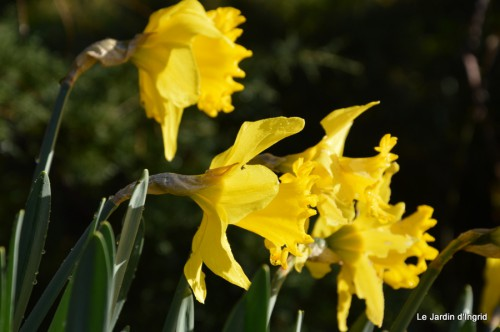 bouquet mamy,jacinthes,semis,jardin 043.JPG