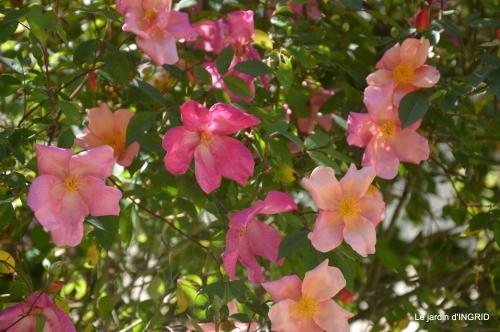iris,clématite,Max,osier,premieres roses 023.JPG
