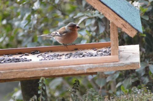 les oiseaux sur terrasse 013.JPG