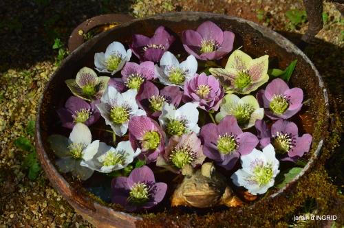 magnolia,taille,jardin,héllébores 037.JPG