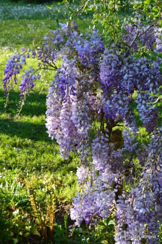 Ciron,pivoine,escargot,jardin,ancolie,glycine 213.JPG