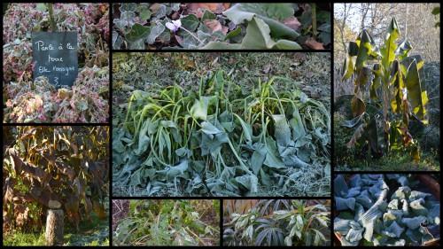 2013-11-29 givre,dégats gelée.jpg