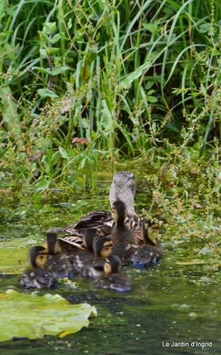puces Lalinde,bébés canards,au moulin souci 076.JPG