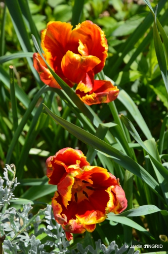 tulipes,Julie,golf,jardin 174.JPG
