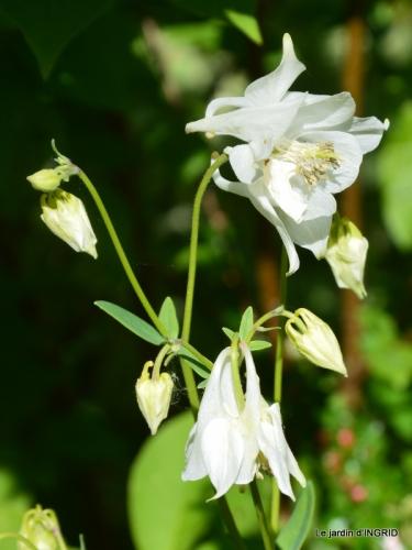 iris,clématite,Max,osier,premieres roses 091.JPG