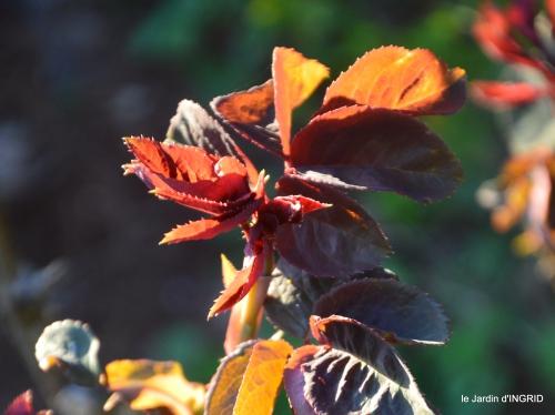 magnolia,taille,jardin,héllébores 052.JPG