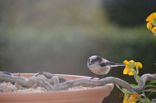 mésanges, nid frelons,fleurs décembre 074.JPG
