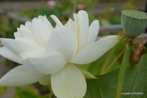 orage,puces,bouquet,Anniv.Ines,Brantome,Jardins d'eau 298.JPG