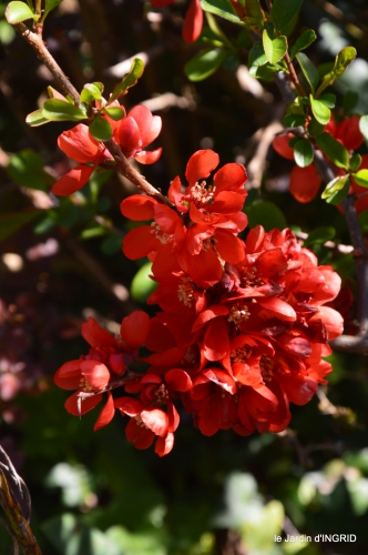 Rouge,narcisse,jardin 042.JPG