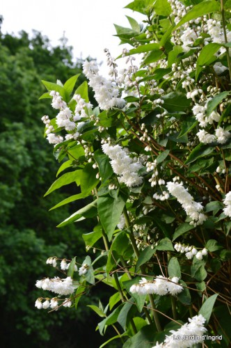 canal,fleurs blanches,marguerites,LE FLEIX,osier 066.JPG