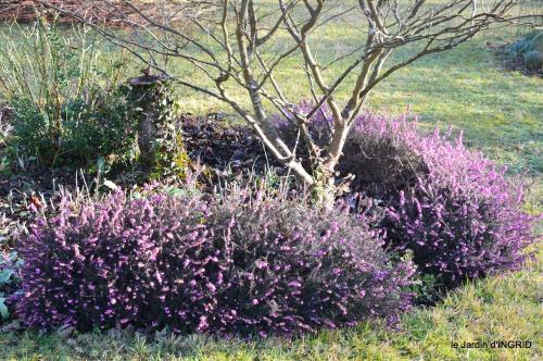 premières fleurs février,la pluie,la fauvette,hélébores 051.JPG