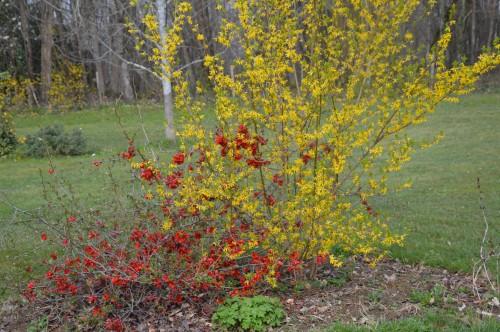 Beaumont,tulipes,primevères et autres,chez Bernadette 134.JPG