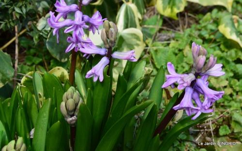 grues ,jonquilles,violettes,Nikky 027.JPG