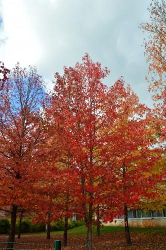 petit érable,le canal et lejardin àl'automne 123.JPG