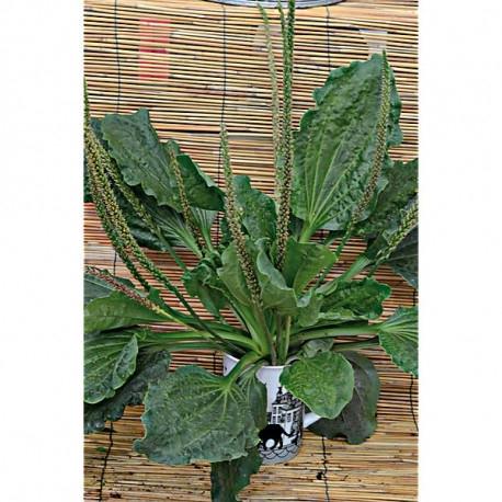 plantain-lanceolata-libor-plantago.jpg