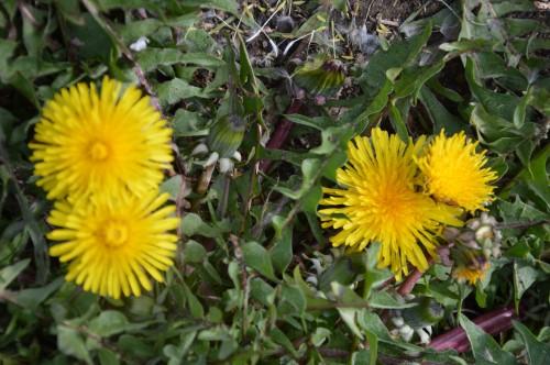 fleurs Ciron,jardin,canards,coucous,mauvaise herbe 031.JPG