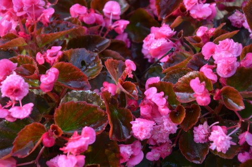 potager ,roses,jardin 033.JPG