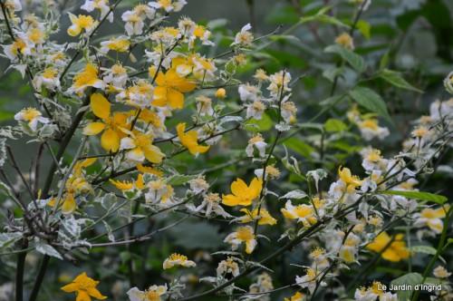 géraniums,glycine Monpazier,cabane,arums,fleurs sauvages 121.JPG