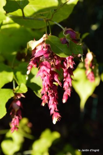 jardin,asters,fleurs blanches,chatte,rosiers roses 075.JPG