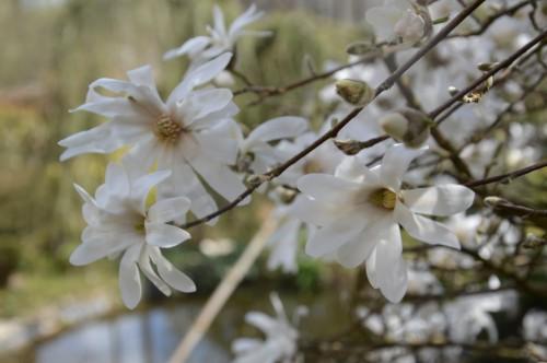 troc graines Neufont,magnolia stelleta 063.JPG
