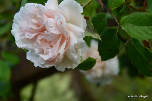 géraniums,glycine Monpazier,cabane,arums,fleurs sauvages 115.JPG