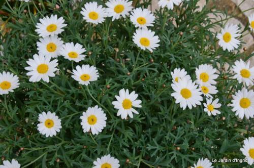 canal,fleurs blanches,marguerites,LE FLEIX,osier 015.JPG