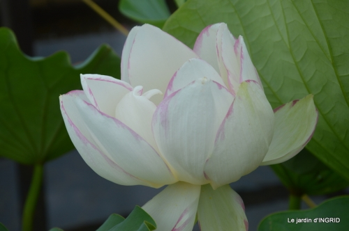 orage,puces,bouquet,Anniv.Ines,Brantome,Jardins d'eau 277.JPG