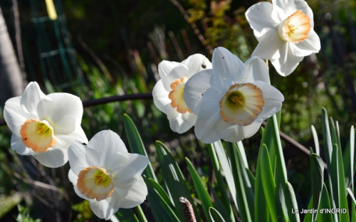 Bergerac, jardin ,arbres fruitiers,printemps 061.JPG