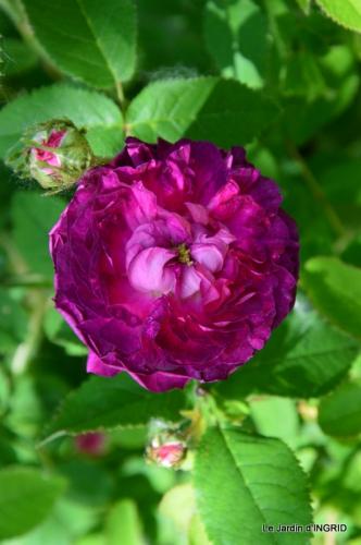 Cadouin,ancolies,roses,pollen,osier,photos Fabien,coquelicots 111.JPG
