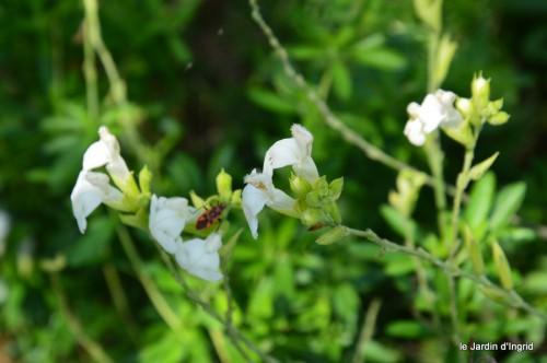 jardin,asters,fleurs blanches,chatte,rosiers roses 123.JPG