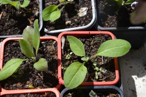 iris,arbre de judée,pivoine,Arya,viburnum,pts plants,cytise,akéb 069.JPG