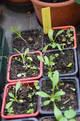 iris,arbre de judée,pivoine,Arya,viburnum,pts plants,cytise,akéb 088.JPG