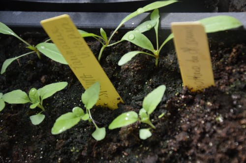 iris,arbre de judée,pivoine,Arya,viburnum,pts plants,cytise,akéb 102.JPG