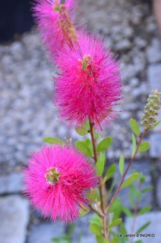 Cadouin,ancolies,roses,pollen,osier,photos Fabien,coquelicots 003.JPG