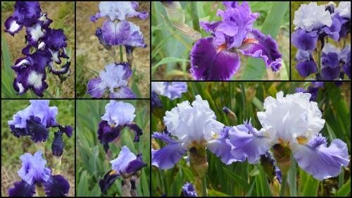 2013-05-12 serre,iris,ancolie,iriseraie Papon,moulin.jpg