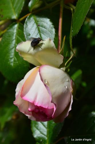 jardin,roses,cabane 108.JPG
