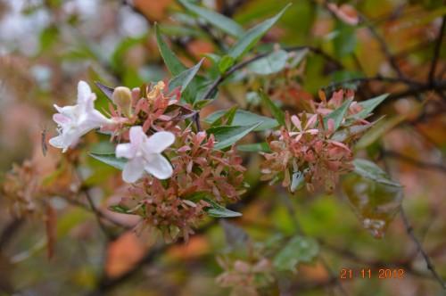 arbres,vues,kaki,kiwi,fleurettes,en fâce 061.JPG