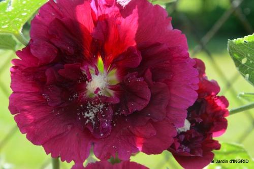 rose trémières,INES,,en ce moment en juin 044.JPG