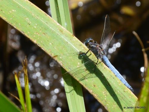 libellules,papillon,jardin,Froidefond,David,Meyrals 019.JPG