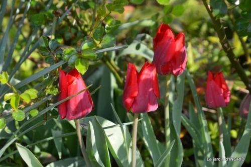jardin confiné ,osier,magnolia jaune 025.JPG