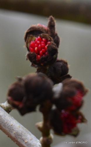 hélébores,bruyères,arbustes fleuries,mésanges 079-001.JPG