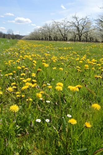 avant tonte,après,euphorbes,tulipes botaniques,autres 052.JPG