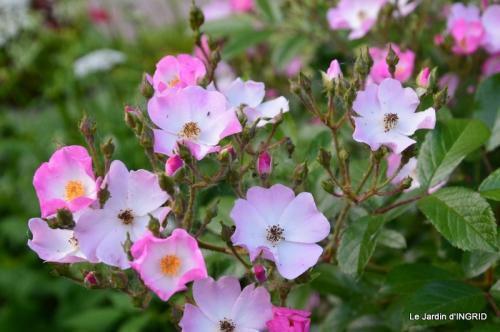 fête de la fraise Vergt,roses jardin 091.JPG
