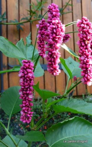 jardin,asters,fleurs blanches,chatte,rosiers roses 133.JPG