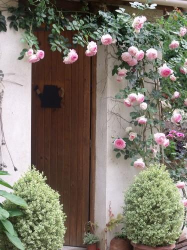 rosier grimpant,