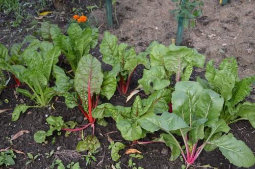 jardin,potager,roses,sauges 088.JPG