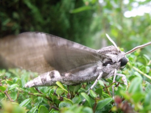 papillon.nuit,7 pigeonniers,Queyssac,jardin 009.JPG