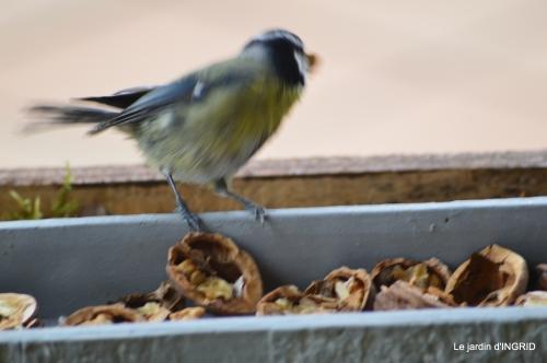 jonquilles,oiseaux avec noix,taille arbres,jardin 072.JPG