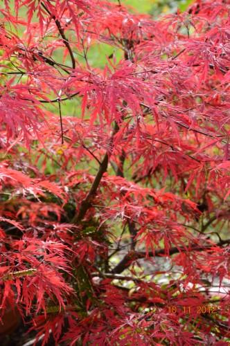 petit érable,le canal et lejardin àl'automne 065.JPG